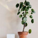 Wachsende eine ornamentale Orangenbaum zu Hause